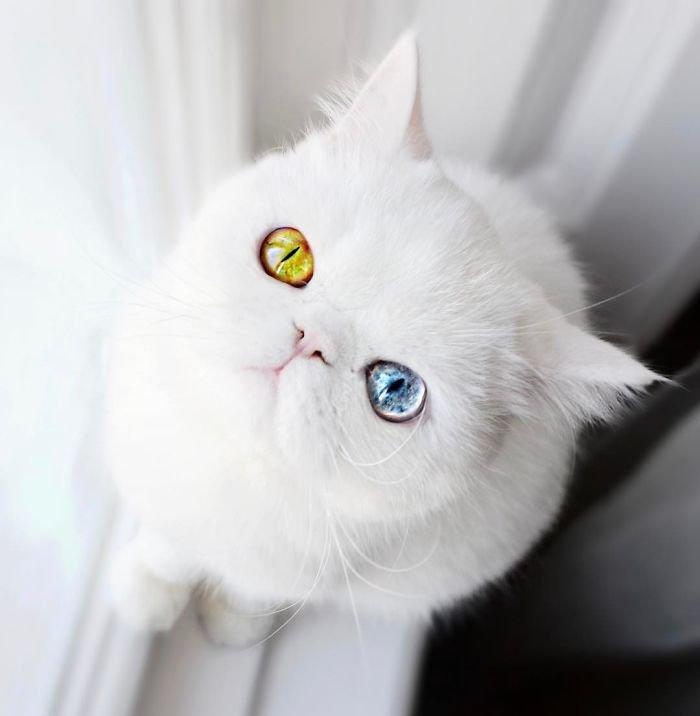 Pam Pam, un motănaș cu heterocromie ai cărui ochișori fascinează (11 foto)