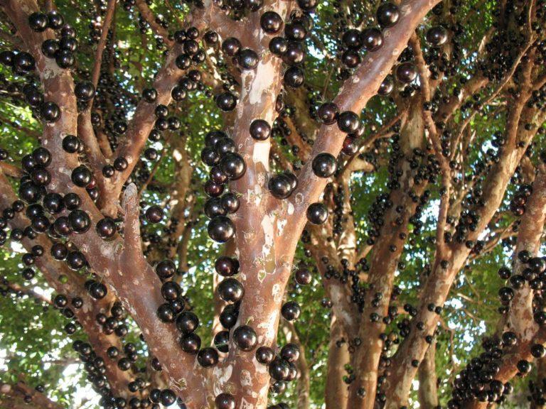 Jabuticaba – pomul al cărui fructe cresc pe trunchi