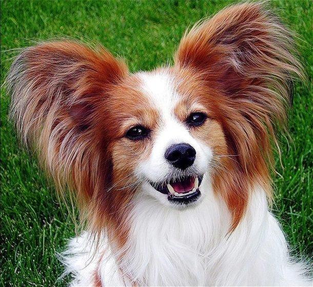 TOP-25: Cele mai deștepte rase de câini