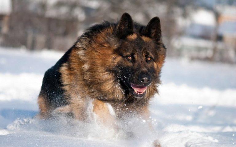 TOP-10: Cele mai periculoase rase de câini din lume