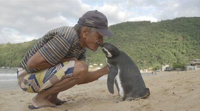 Un pinguin parcurge 8000 km în fiecare an pentru a-și vizita salvatorul
