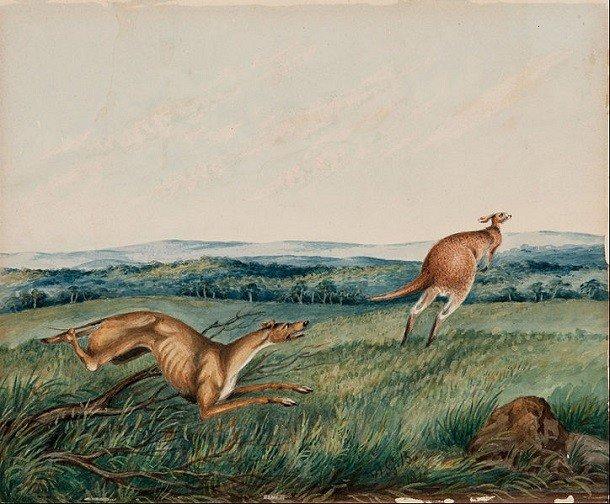 Marsupiale - Wikipedia, Penis cangur