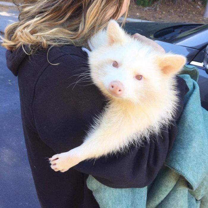 O femelă enot care suferă de albinism a fost salvată, iar acum nu mai încetează să emane iubire (11 foto)