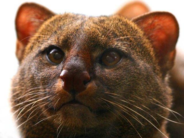 Jaguarundi – o pisică sălbatică foarte rară (7 foto)