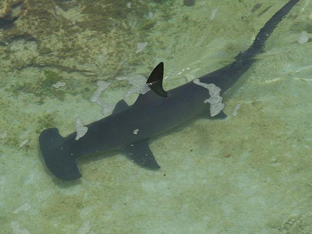 TOP-25: Adevăruri trăsnite despre rechini