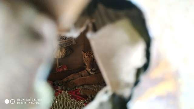 O familie a descoperit în propria casă un tigru (3 foto)