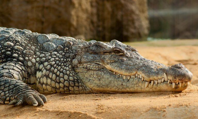 TOP-10: Curiozități despre crocodili