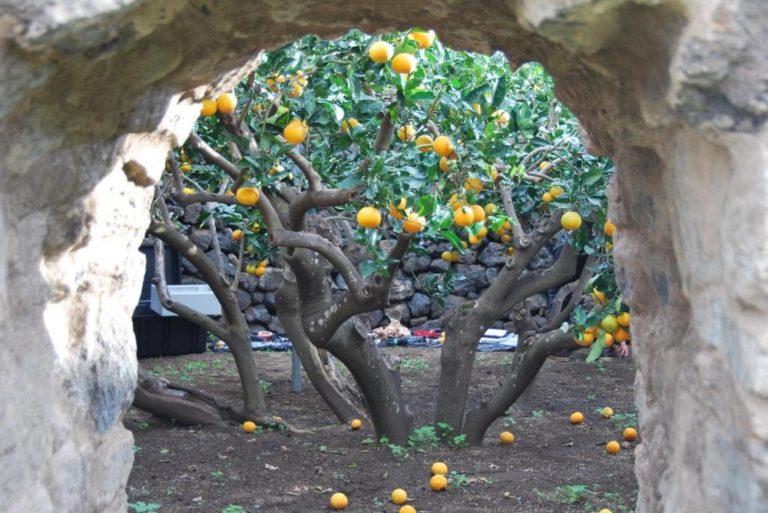 Grădinile citrice ale insulei Pantelleria (4 foto)